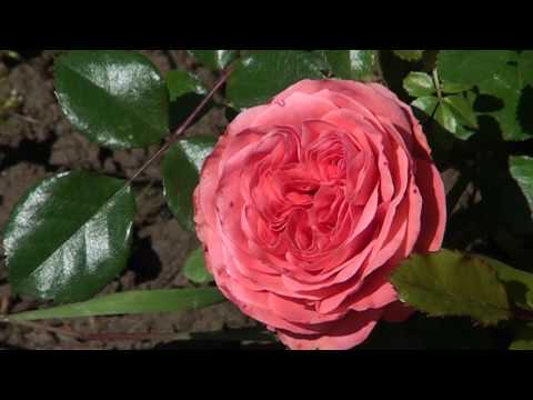 Ruža – Kraljica cvijeća