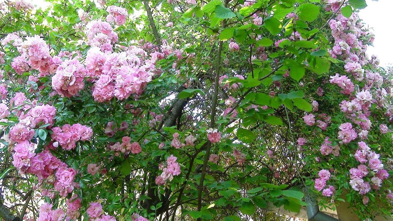 Ružin grm u zagrljaju stabla lješnjaka